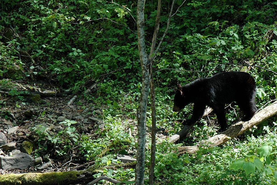 Mother Black Bear Smoky Mountains
