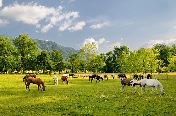 Cades Cove Horses in valley pasture