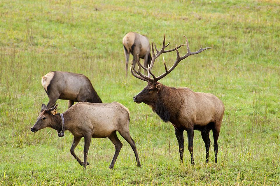 Elk have been reintroduced to the National Park.